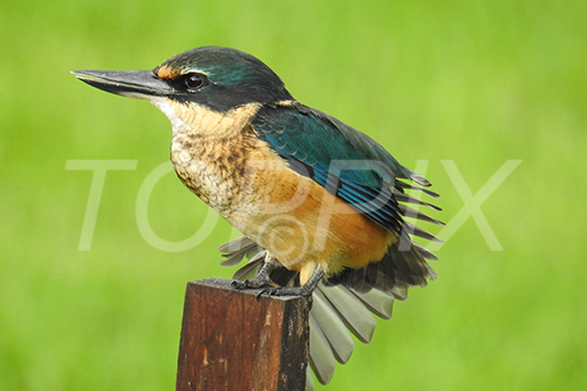 Kingfisher - Toppix Art Prints - Toppix - Doug Cole Photographer, Auckland - Scenic Photography